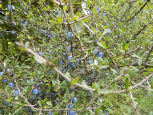 BLUE berries on the Wangapeka track